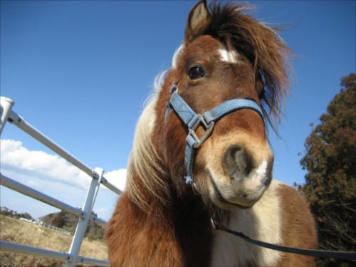 ポニーと普通の馬の違いって何なの
