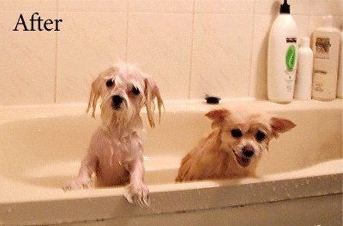 ワンちゃんたちがシャワーを浴びた結果