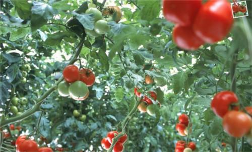 トマトを食べると若返る
