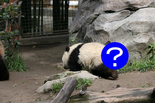 パンダのしっぽって白?それとも黒?