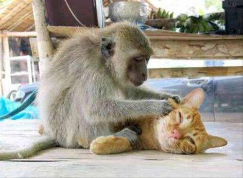 猫を毛繕いする猿にほのぼの