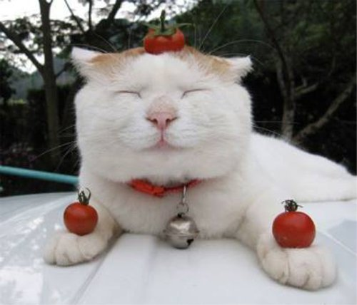 トマトのせいで身動きがとれない猫