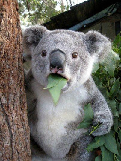 何があったのか気になってくるコアラの表情