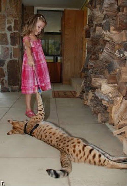 世界一背が高い猫。その高さは・・・