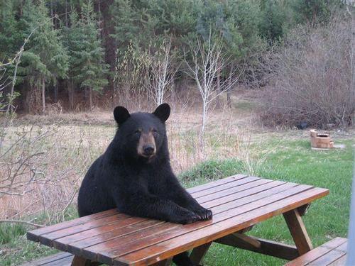 クマはイヌよりも鼻がいい