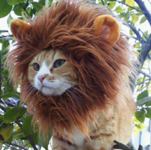 気分は王様!ライオンになりきった猫