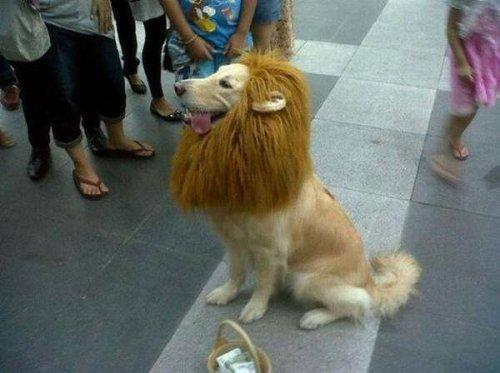 気分は王様!ライオンになりきった犬