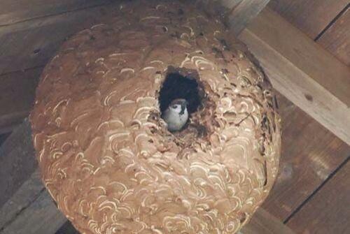 スズメバチの巣に意外な生き物が住んでいた