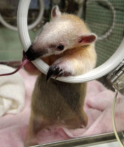 ミナミコアリクイ赤ちゃん上野動物園_fc2