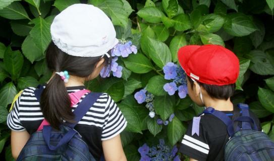 2007-01-24 25年度年長菖蒲見学25年6月25日 061 (800x471)