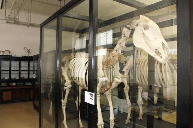 2014北海道旅行:北海道大学 総合博物館 3F 馬の骨