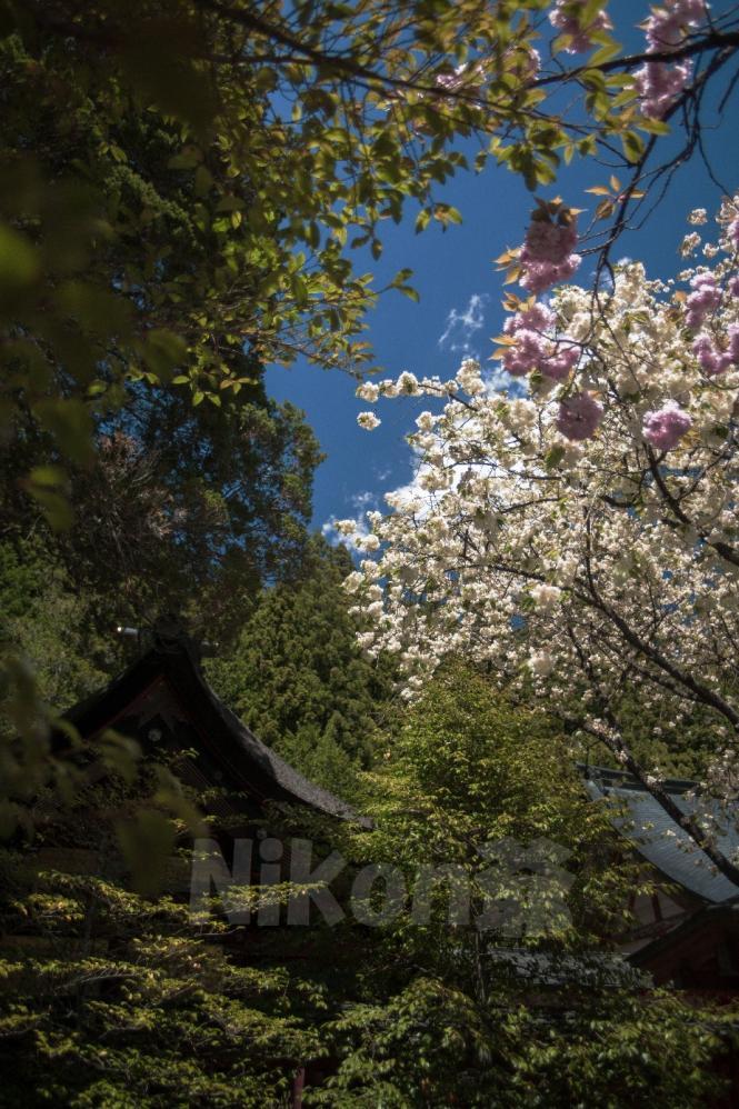 2013 05 03 うこん桜 D3x (32)S