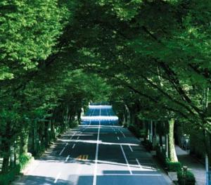 新緑中杉通り