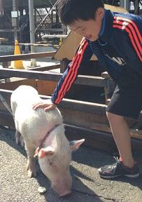 豚さんとふれあい