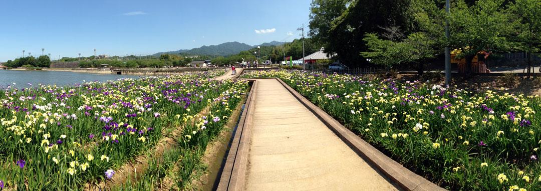 鶴亀公園菖蒲祭り1