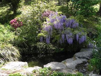 飯尾の藤庭