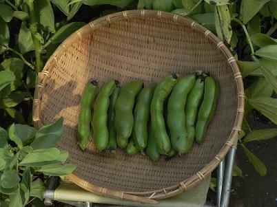 ソラマメ収穫