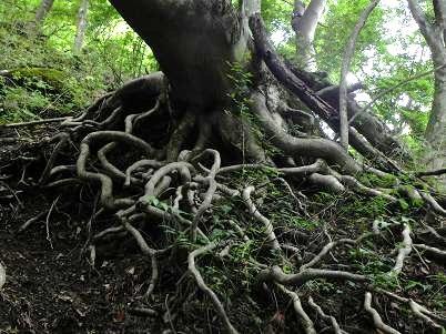 モミジの根