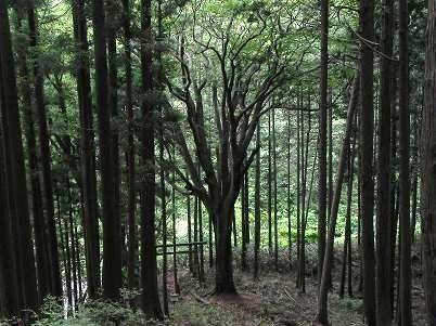 ブナの神木