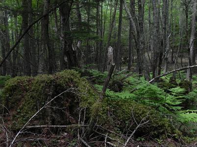 櫛形原生林