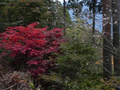 御嶽の冬桜