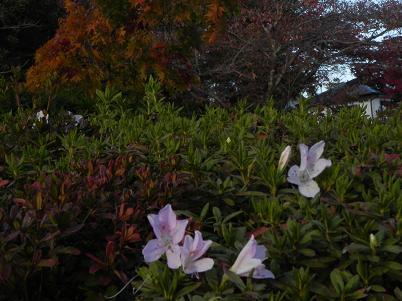 能仁寺のサツキの花