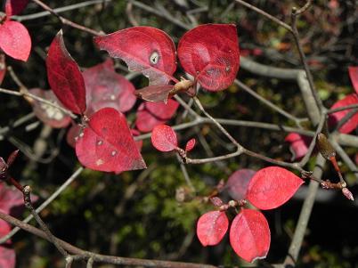 三つ葉ツツジの紅葉