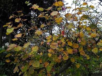 トサミズキの黄葉