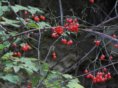 ツル植物の赤い実