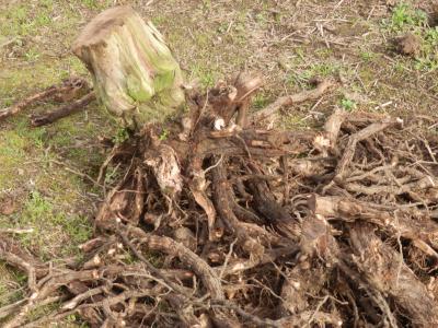 安芸クイーン伐採