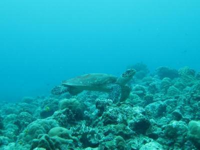 06-03 <パラオツアー> ウミガメ