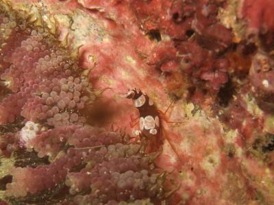 09-03 イソギンチャクモエビ