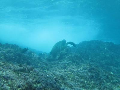 八丈島ツアー アオウミガメ