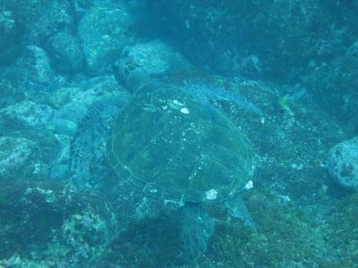八丈島ツアー アオウミガメ1