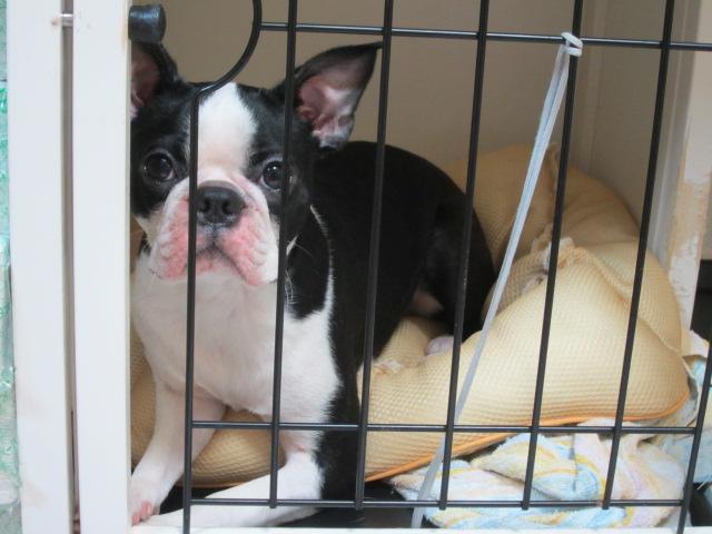 うちの犬はボストンテリア