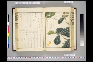 本草図譜巻六十六「大葉櫟」