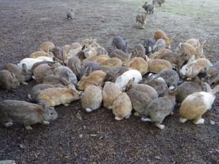ウサギ島201311-01