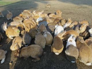 ウサギ島201311-02