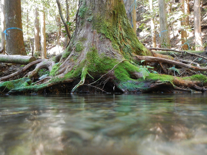 杉の木の根