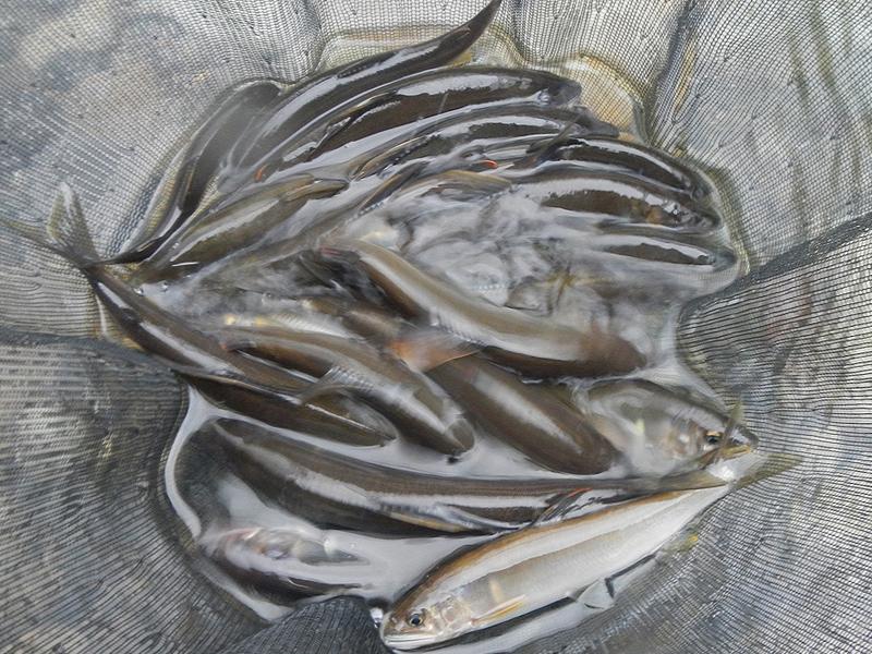 古座川支流の鮎釣果