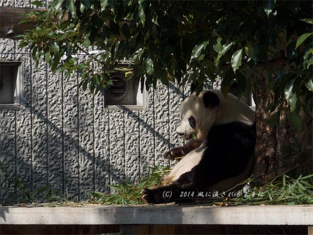 兵庫・王子動物園のパンダ1