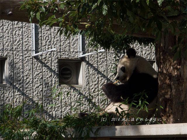 兵庫・王子動物園のパンダ2