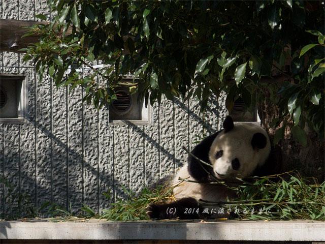兵庫・王子動物園のパンダ3