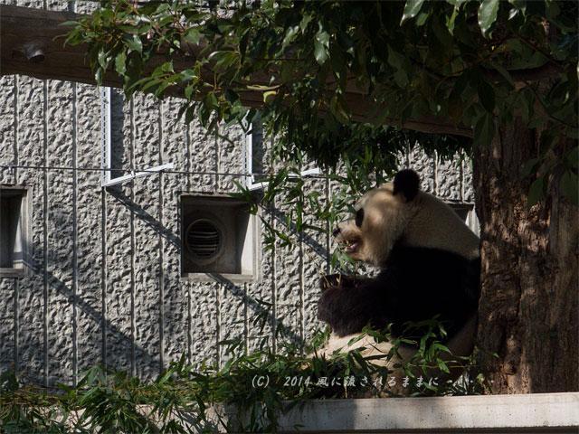 兵庫・王子動物園のパンダ4