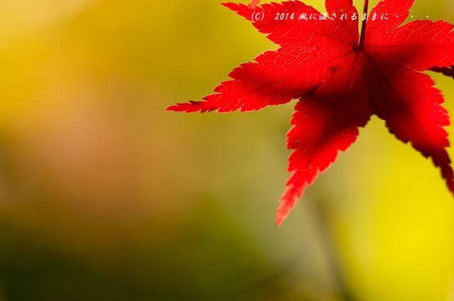 2014年11月 大阪・西江寺(さいこうじ)の紅葉12