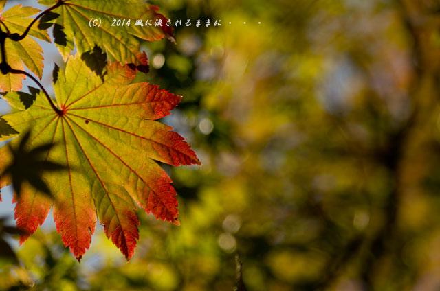 2014年11月 大阪・西江寺(さいこうじ)の紅葉16