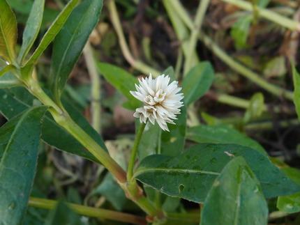 ノゲイトウ花