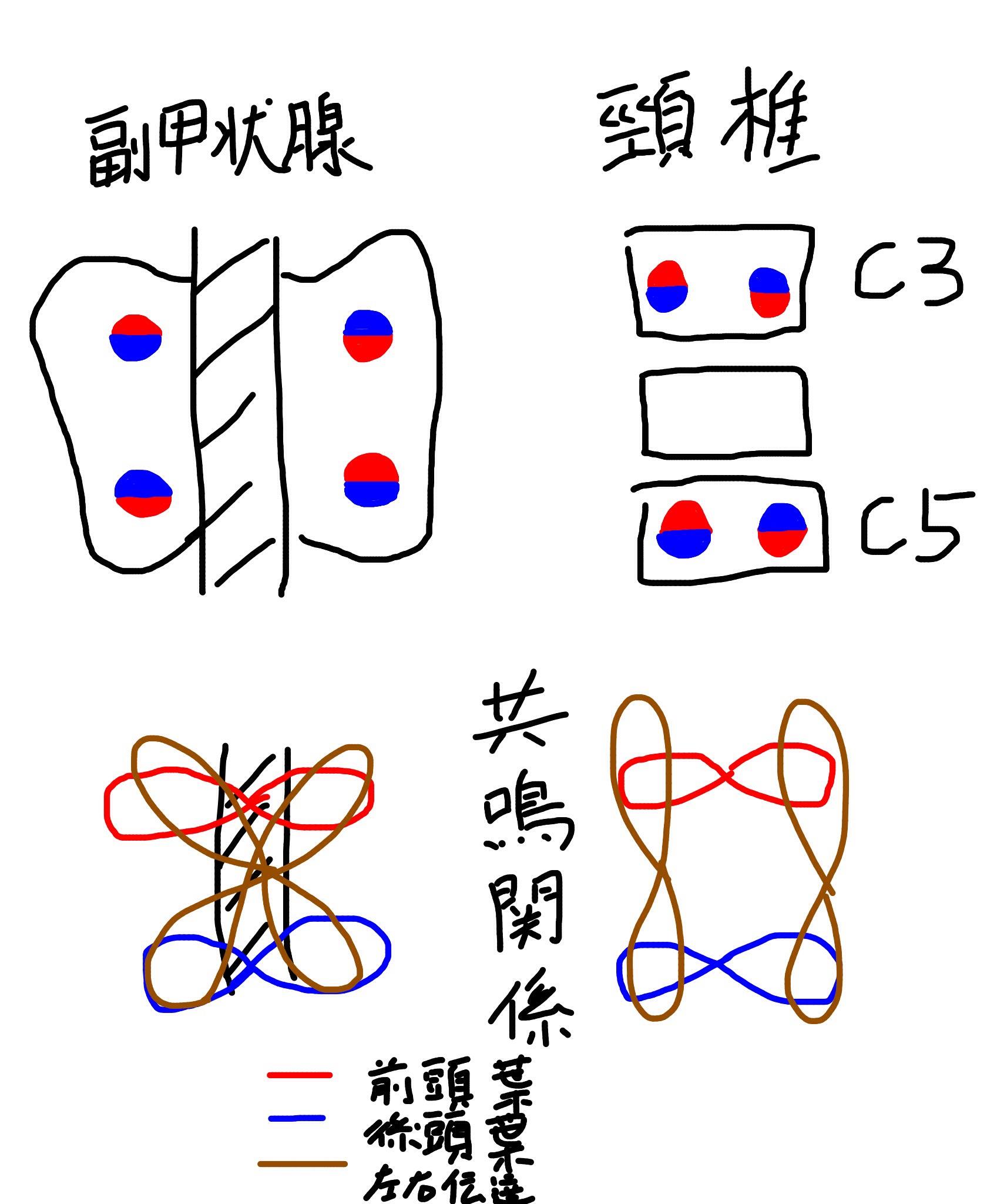 共鳴制御ポイント図(副甲状腺と頸椎)