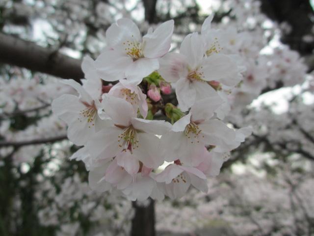 夙川公園2013-5