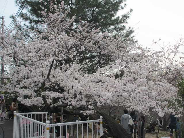 夙川公園2013-4